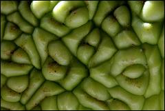 Maclura pomifera -O. des Osages