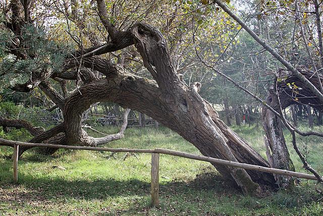 20100924 8391Aaw Darßer Ort, Baum