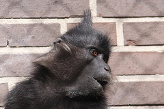 20100902 7804Aaw Schwarzmakak (Macaca nigra)