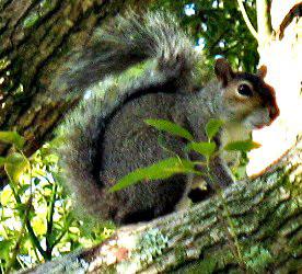 Squirrel.........
