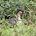 20100902 7805Tw [D~ST] Hawaii-Gans (Branta sandvicensis), Rheine