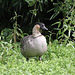 20100902 7806Tw [D~ST] Hawaii-Gans (Branta sandvicensis), Rheine