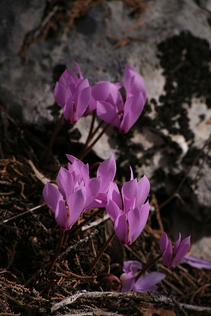 Cyclamen graecum -Turkey 2010
