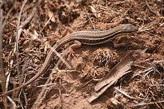 Lizard - Turkey 2010