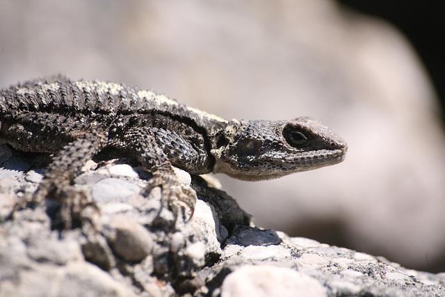 Agama lizard - Turkey 2010