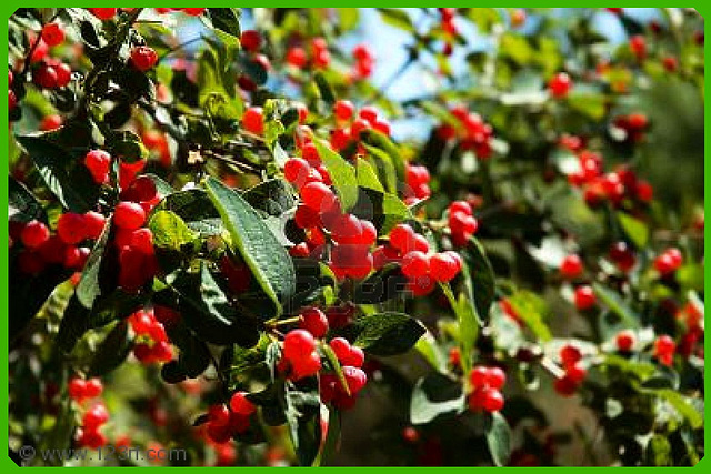 Ipernity petits fruits rouges by valeriane - Arbre feuille rouge fruit rouge ...
