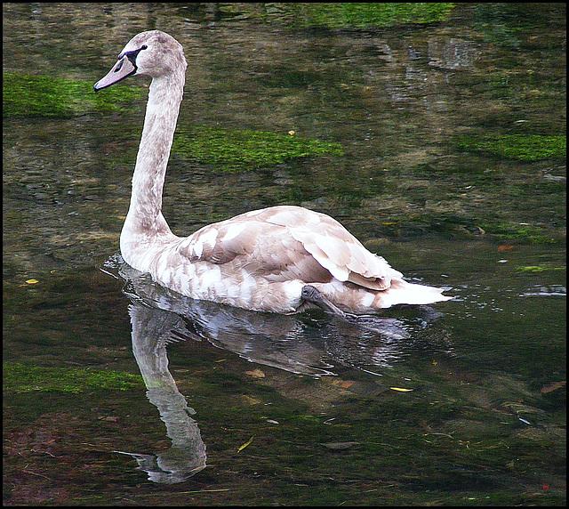 Brown swan