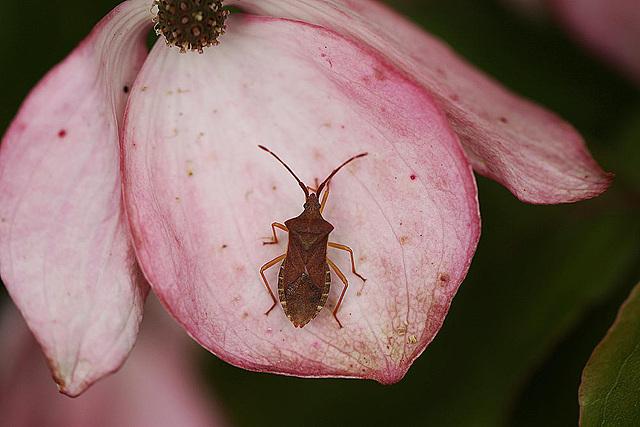 20100618 5954Mw Lederwanze (Coreus marginatus)