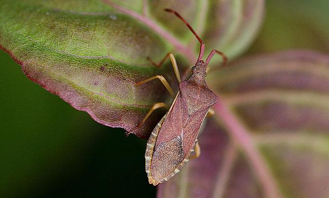 20100618 5989Mw Lederwanze (Coreus marginatus)