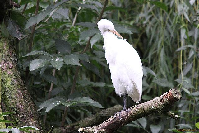 20100902 7882Tw [D~ST] Silberreiher (Casmerodius albus), Zoo Rheine