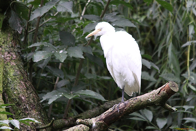 20100902 7887Tw [D~ST] Silberreiher (Casmerodius albus), Zoo Rheine