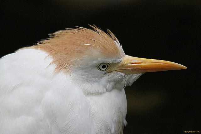 20100902 7895Taw Kuhreiher (Bubulcus ibis)