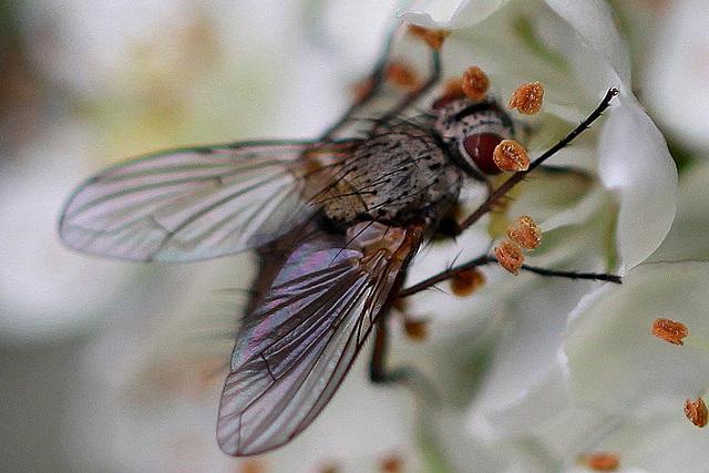 20100618 5983Maw Fliege