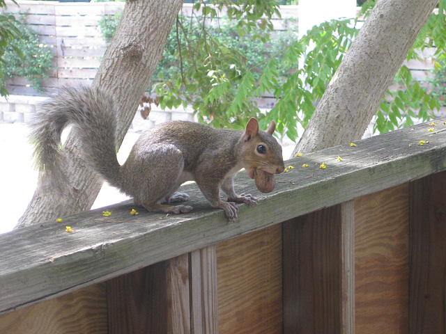 squirrel with pecan