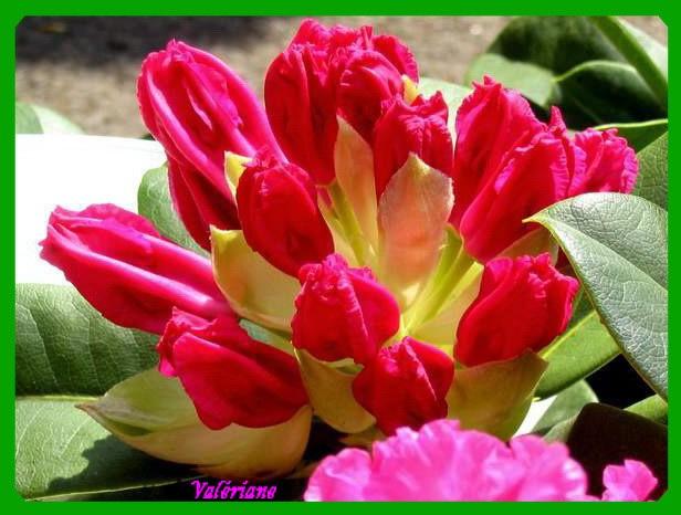 Coeur de Rhododendron