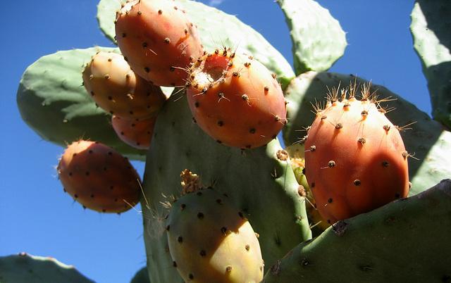A-dos-Ruivos, cactus figs (2)