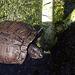 Greystone Turtle 10-10-10 (7658)