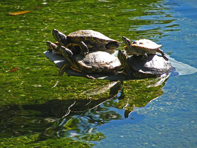 Greystone Turtles 10-10-10 (2132)