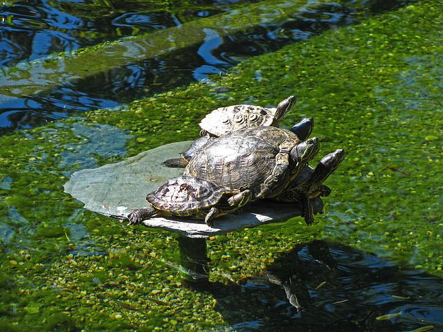 Greystone Turtles 10-10-10 (2133)