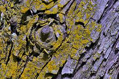 The Old Crab Apple Tree – National Arboretum, Washington DC