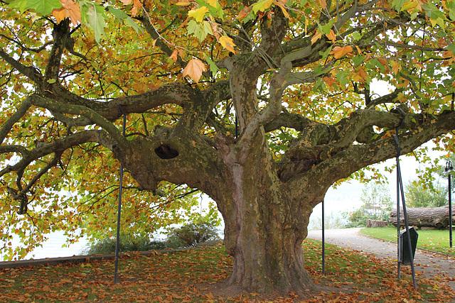 Der alte Baum muss gestützt werden