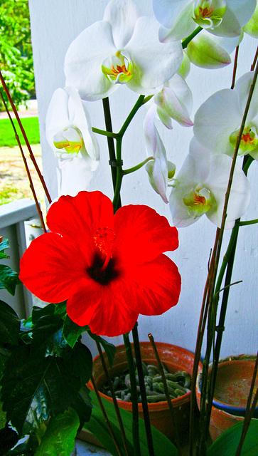 Hibiscus  et orchidées