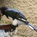 20100902 7830Aaw Trompeterhornvogel (Bycanistes bucinator)