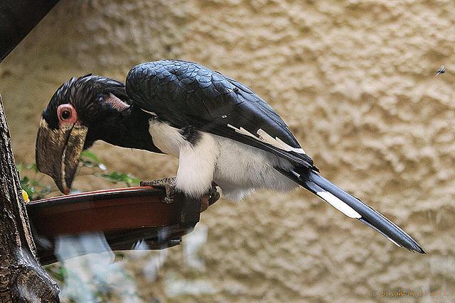 20100902 7831Aaw Trompeterhornvogel (Bycanites bucinator)