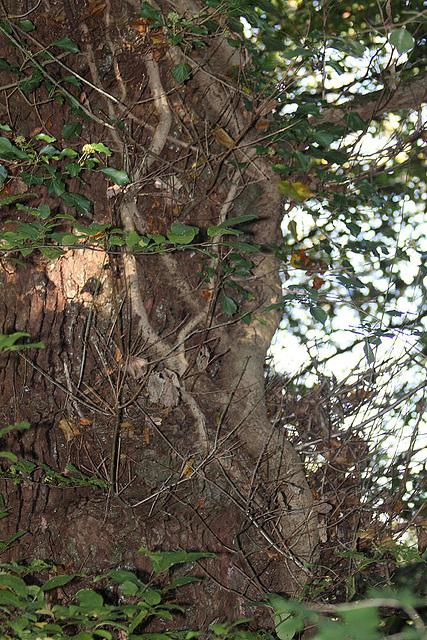 20101013 8506Aw Efau, Baum, Hermannsdenkmal DT