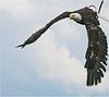 """""""el condor..."""" l'aigle à tête blanche"""