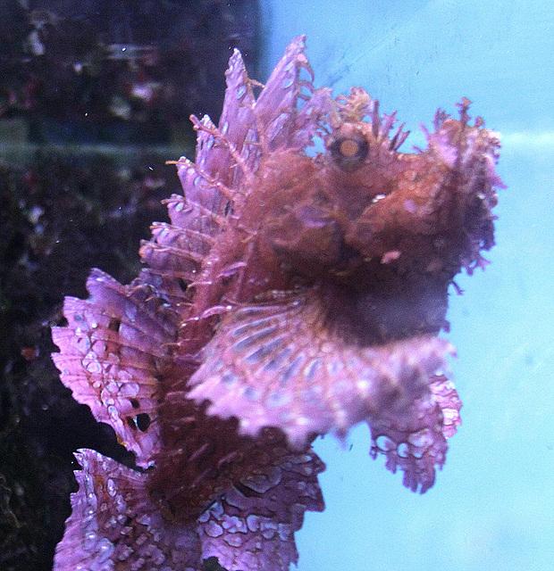 20100920 8250Aaw Stralsund, Japanischer Drachenfisch