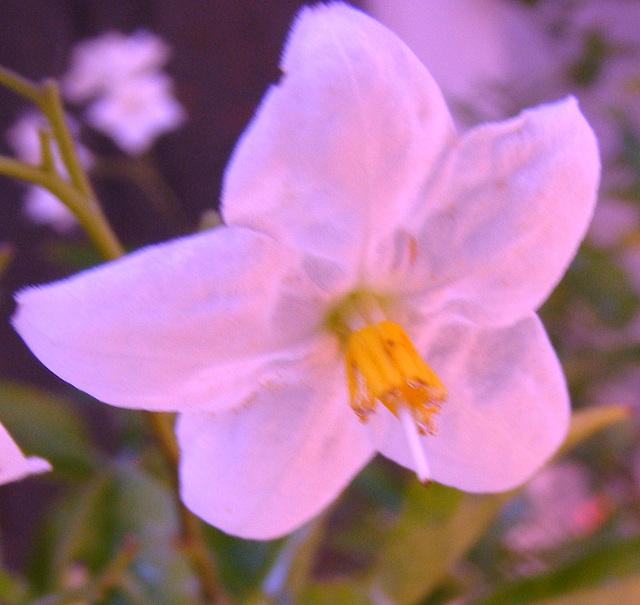fleur ...ratée