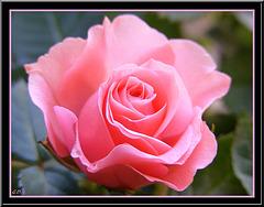 Mini Rose... Rose