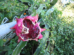 2008 .. Dragon Fruit.. bird feeder !