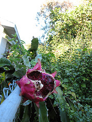 2008 Dragon Fruit...enjoyed by the birds #2