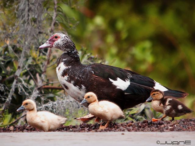 Pato criollo o también llamados mudos.