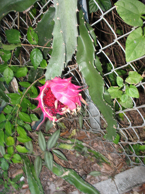 2008  .. Dragon Fruit.. Hylocereus undatus