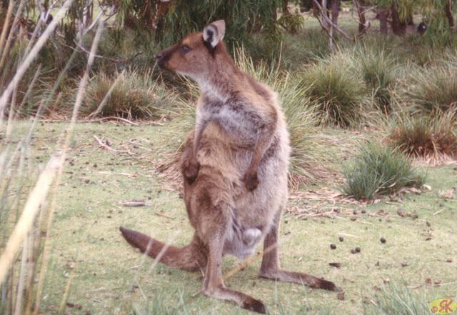 1997-07-23 104 Aŭstralio, Kangaroo Island