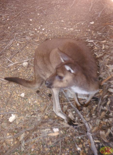 1997-07-23 113 Aŭstralio, Kangaroo Island