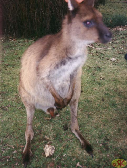 1997-07-23 110 Aŭstralio, Kangaroo Island