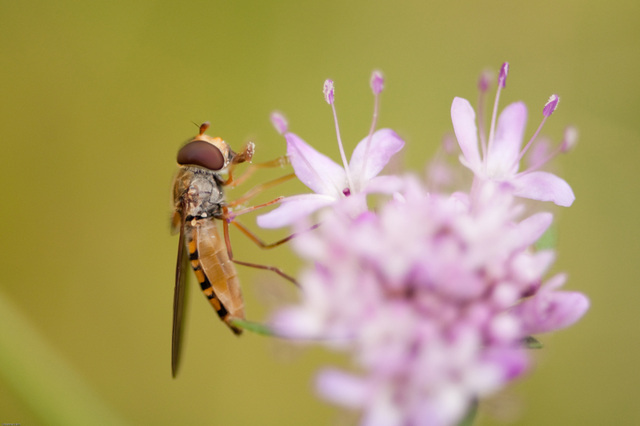 profile of the hoverfly