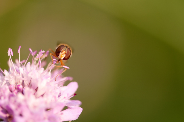 hoverfly from the front