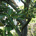 The old grapefruit tree..