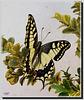 Papilio machaon venant d'éclore