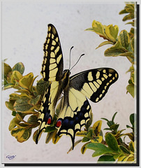 Papilio machaon venant d'éclore