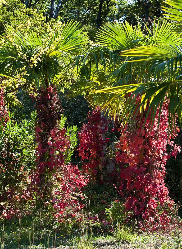 palmiers-vigne-vierge-IMG 2694