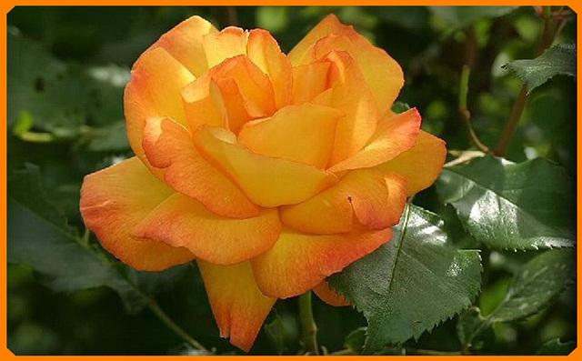 rose jaune irisée