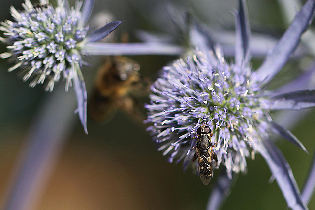20100715 6625Maw Schwebfliege Biene