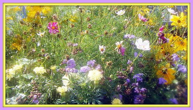 mélange de  fleurs des champs