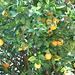 Oranges ..